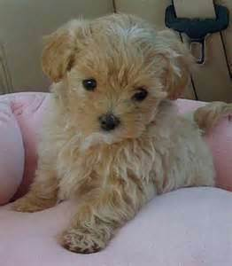 yorkie poo puppies for sale ta best 25 teacup maltipoo ideas on teacup poodle puppies maltipoo puppies