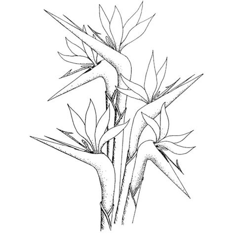 coloring pages bird of paradise bird of paridise coloring yahoo image search results