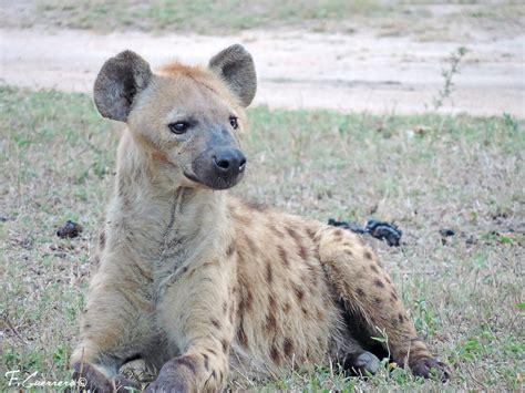 imagenes de leones vs hienas hienas contra leones en sabi sand p n kruger sud 225 frica