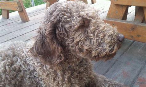 labradoodle puppy cut wheaten summer cut newhairstylesformen2014