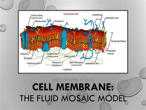 cell membrane bundle power point  graphic organizer