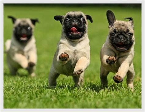 running pugs 20 hilariously pug puppies to brighten the day pugs