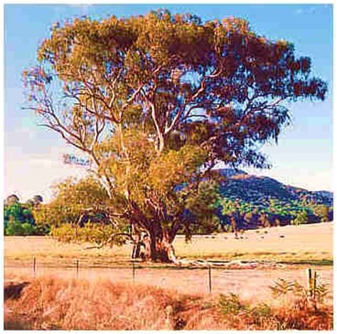 tree australia australian gum trees get domain pictures getdomainvids
