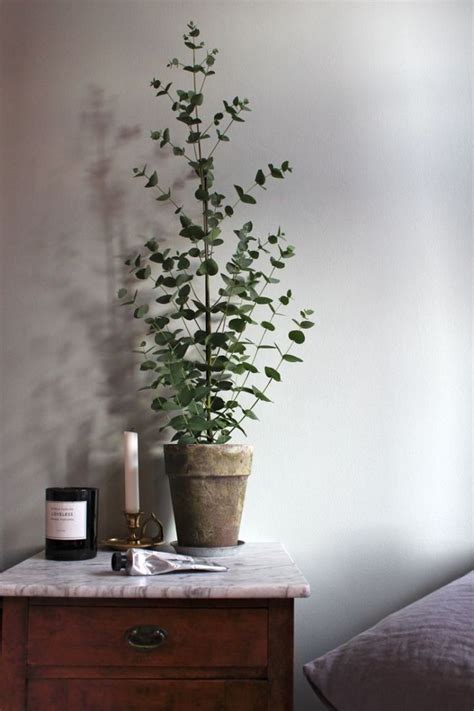 can eucalyptus be grown indoors potted eucalyptus trees for the home plants eucalyptus tree