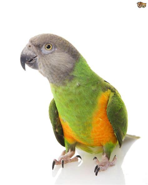 Senegal Parrot   Pets4Homes