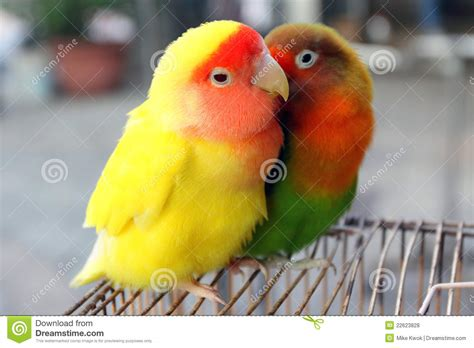 lovebird stock photo image of color companionship