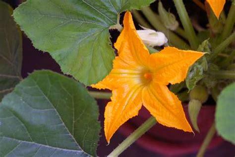 piante di zucchine in vaso come coltivare le zucchine in vaso a partire dal seme
