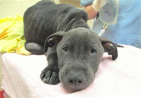 parvo for puppies parvo in puppies pit bulls