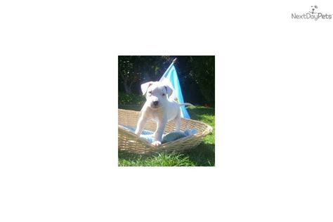 dogo argentino puppies for sale near me argentine dogo puppy for sale near san diego california 11b3cfe8 7d01