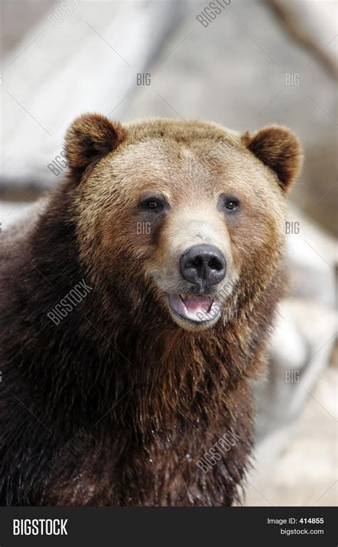 Bears Smile grizzly smiling image photo bigstock