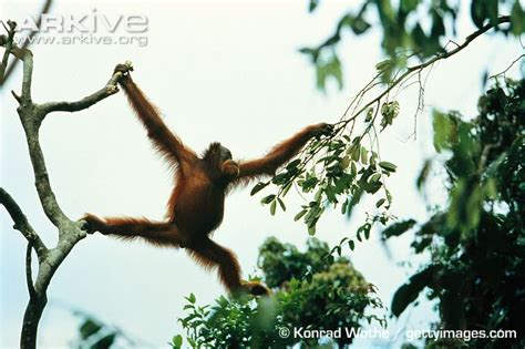 monkeys swinging in a tree sumatran orangutan photo pongo abelii g4442 arkive