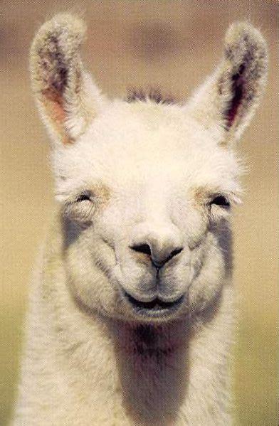 smiling llama i love llamas lol things that make me smile pinter