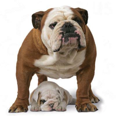 royal canin bulldog puppy royal canin bulldog free p p on orders 163 29 at zooplus