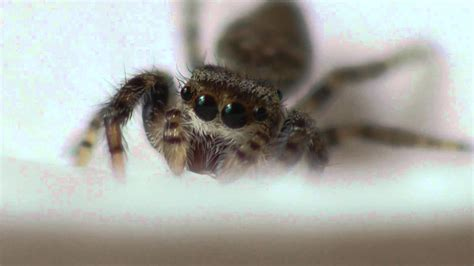 Cute Spiders Phil Ebersole S - baby jumping spiders