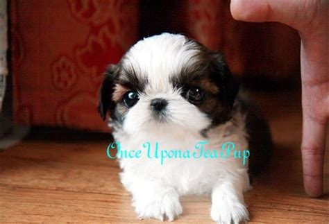 teacup shih tzu grown size onceuponateapup now handles all teacup puppy sales in the us and canada for jung