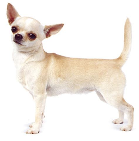 how to a chihuahua to be a therapy the and bad of pet therapy worms germs