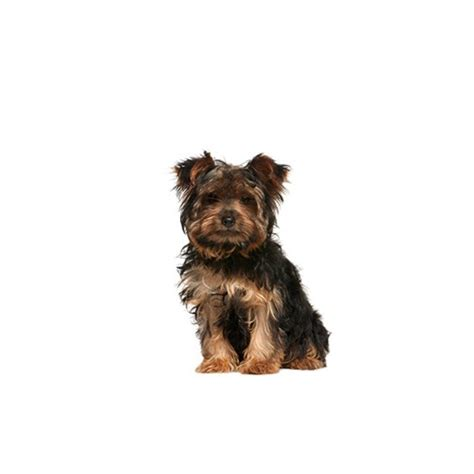 yorkie chon yorkie chon puppies michigan petland novi