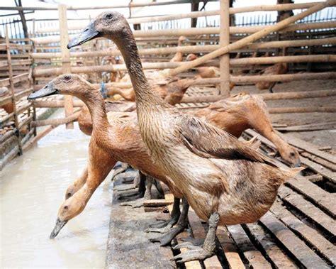 Bebek Peking 49 itik silangan baru cepat bongsor bebeja