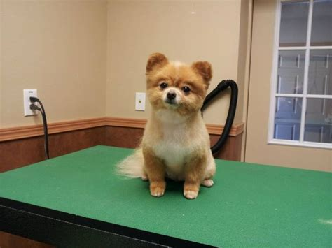 how to groom a pomeranian cut pomeranian teddy trim puppy cut haircut pom grooming grooming by kristen