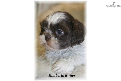 chocolate and white shih tzu white shih tzu facing front wallpaper 1280960 breeds picture