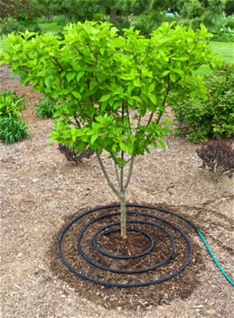 how often to water a tree tree care when to water trees gardener s supply