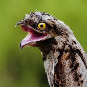 The potoo is a nocturnal bird that resides in central and south
