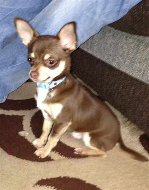 chocolate chihuahua puppies tiny chocolate chihuahua stud harlow essex pets4homes