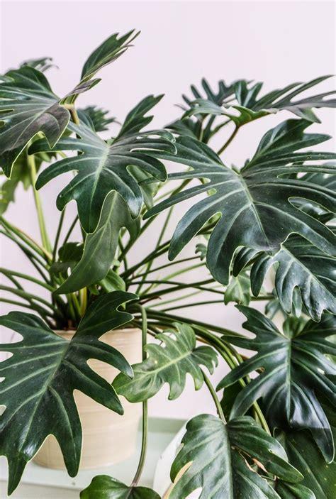 close   philodendron xanadu  sitsitsocom plants