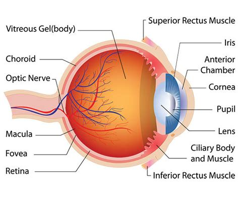 cataract surgery diagram study steroid shows potential for treating cataracts