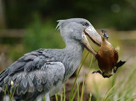 balaeniceps rex picozapato shoebill bec en sabot du