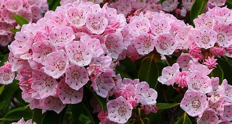 what is a state flower connecticut state flower mountain laurel proflowers blog