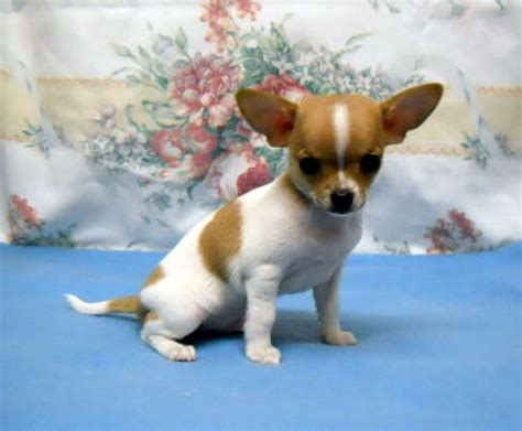 chihuahua puppies oregon chihuahua puppies breeder oregon many colors great prices for sale adoption from drain