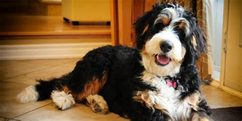mini bernedoodle puppies bernedoodle info temperament diet puppies pictures