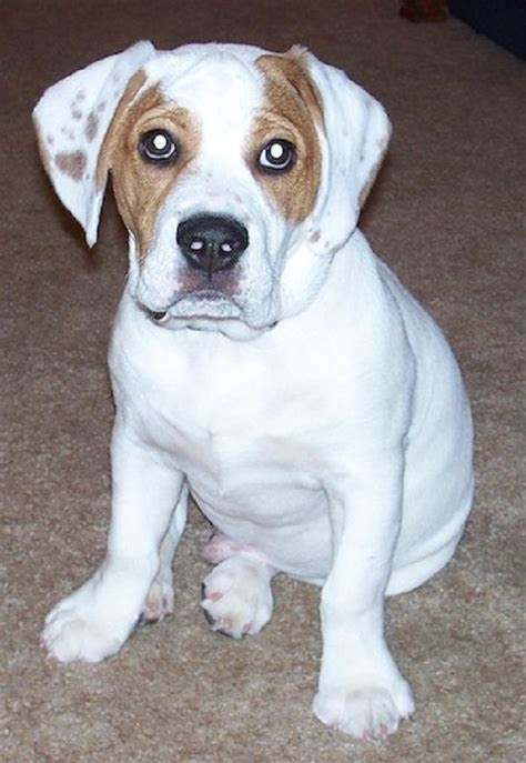 beagle boxer mix puppies for sale 31 best beabull cuteness images on bulldogs puppies for sale and