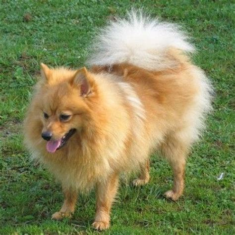 keeshond pomeranian 69 best images about pomerianen keeshond on dogs for sale i want and