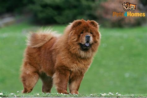 cost of chow chow puppies chow chow breed information buying advice photos and facts pets4homes