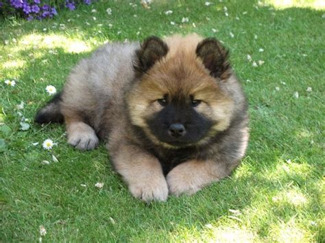 eurasier puppies eurasier puppies northlakes eurasiers in cumbria