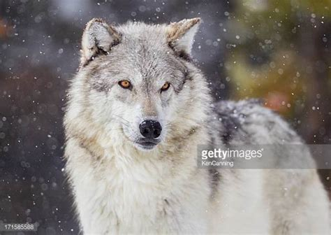 Wallpaper For Kids by Wolf Stock Photos And Pictures Getty Images