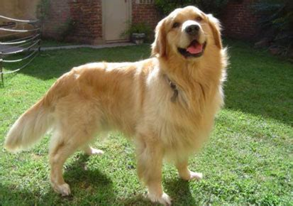 golden retriever shedding how to reduce hair shedding in golden retriever kerala news kerala breaking