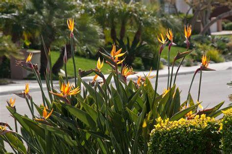strelitzia reginae in vaso strelitzia piante da giardino come curare la strelizia
