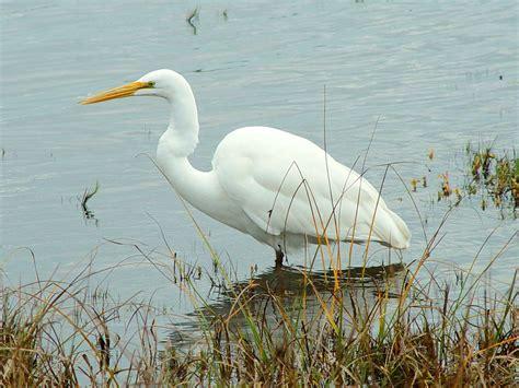 imagenes garzas blancas aves faunadelllano