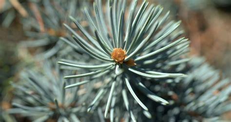utah christmas tree permits blm tree permits available nov 14th mylocalradio