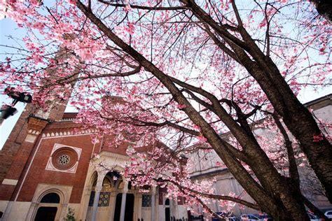 alberi fioriti in primavera corriere ultime notizie e provincia