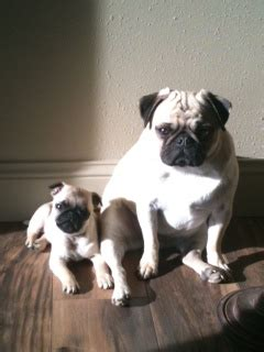 aj pug ranch jnj pug ranch pugs pug puppies pug breeders city mt
