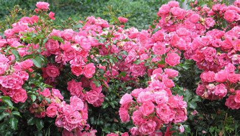 fiori tappezzanti le paesaggistiche tappezzanti genova e alessandria