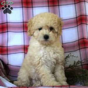 doodle name kaye ship from gfp shipping puppies greenfield puppies