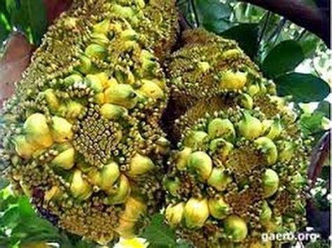 woow luar biasa tanaman buah anggur di bonsai