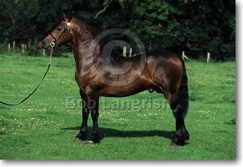 section d welsh cob 17 best images about welsh cob section d on pinterest
