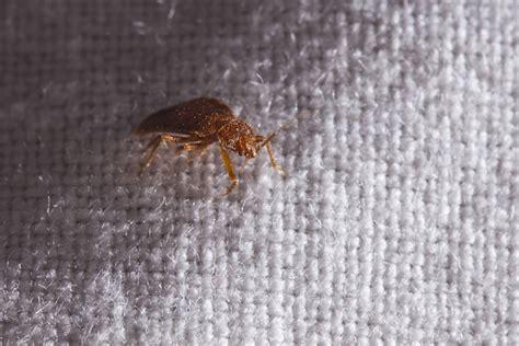 do bed bugs travel bed bugs can live in my car griffin pest control