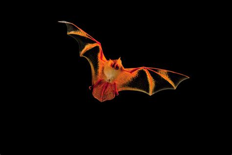 beautiful mysterious bat wsj